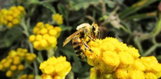 Los pesticidas y la desnutrición matan a las abejas