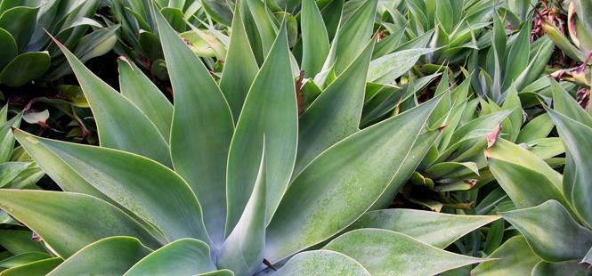 Hallan nuevas especies de agave, la planta del tequila