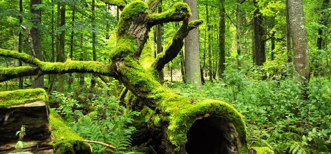 La tala de árboles del bosque Bialowieza incumple las normas europeas