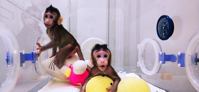 Clonan a dos monos en China