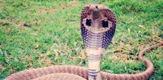 Curiosidades sobre la cobra que desconocías