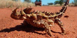 El lagarto más extraño del mundo