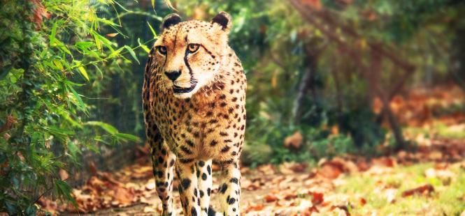 Los mamíferos recorren distancias más cortas en entornos humanizados