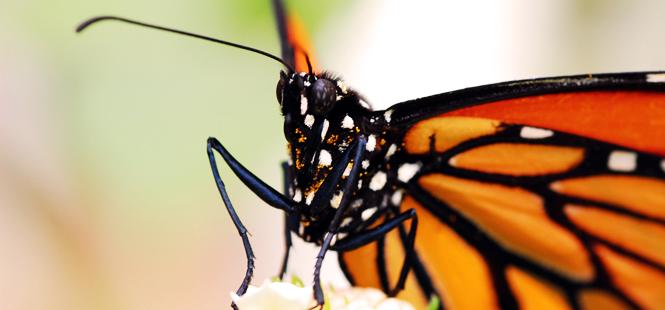 La mariposa monarca está en peligro
