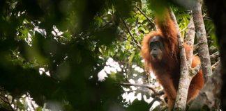 Evitar la extinción de los orangutanes