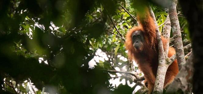 Dramático declive de la población del orangután de Borneo