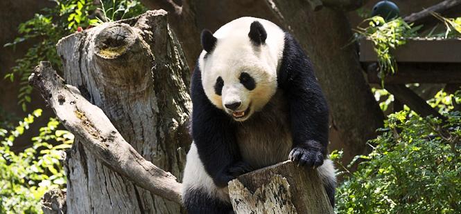 ¿Dónde habitan los únicos osos panda que no pertenecen a China?