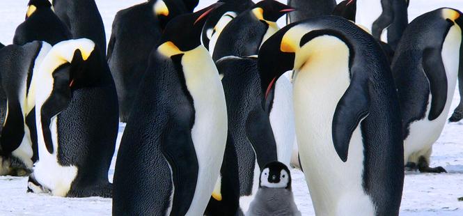 Datos curiosos que quizás no sabías sobre los pingüinos