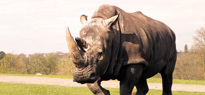 Más de mil rinocerontes mueren cada año