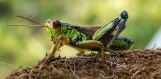 Los plaguicidas amenazan la supervivencia de grillos y saltamontes