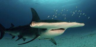 La decadencia de los tiburones