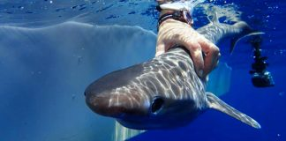 Una especie de tiburón desconocida hasta ahora