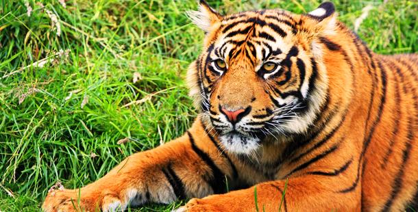 ¿Es posible duplicar tigres?