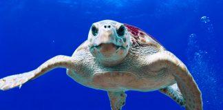 Las playas españolas ayudan a la supervivencia de la tortuga boba