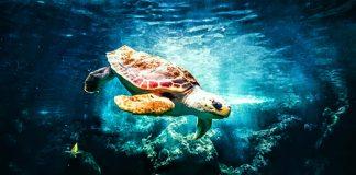 Las tortugas marinas son uno de los animales más afectados por la basura oceánica