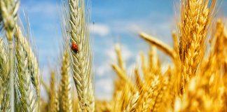 El dicamba sigue los pasos del glifosato en una nueva polémica sobre herbicidas y transgénicos