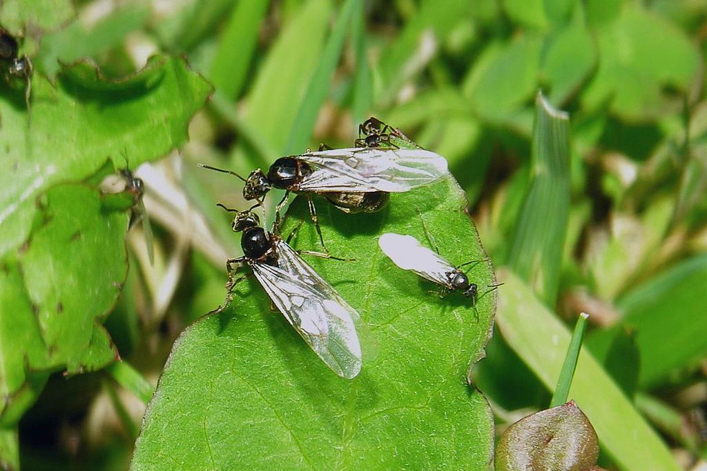 Imagen de Hormigas Voladoras