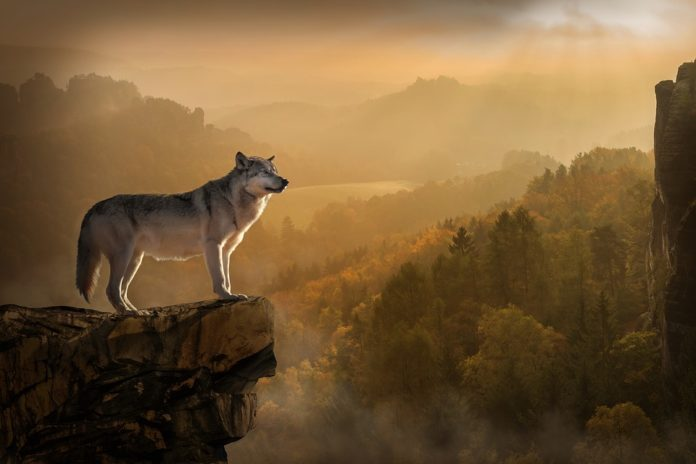El lobo pulveriza el récord de larga distancia - Ambientum