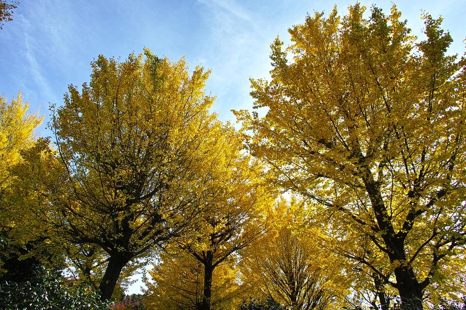 árbol ginkgo biloba crecimiento