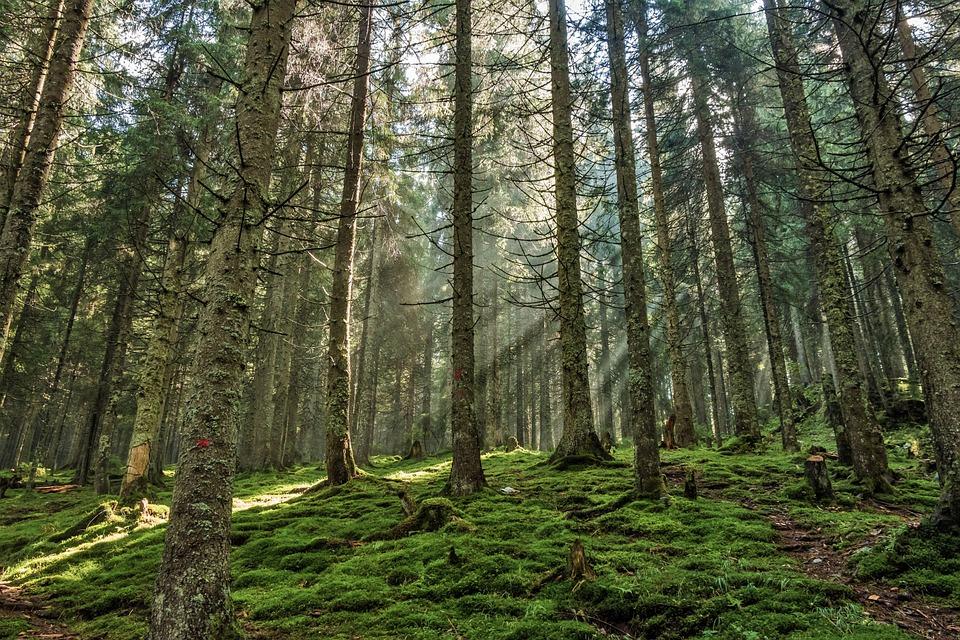 Pinos-bosque-pixabay