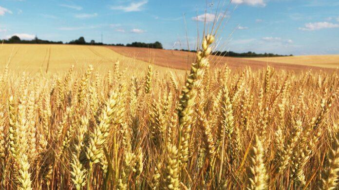 Las variedades de trigo españolas, claves para los cultivos - Ambientum